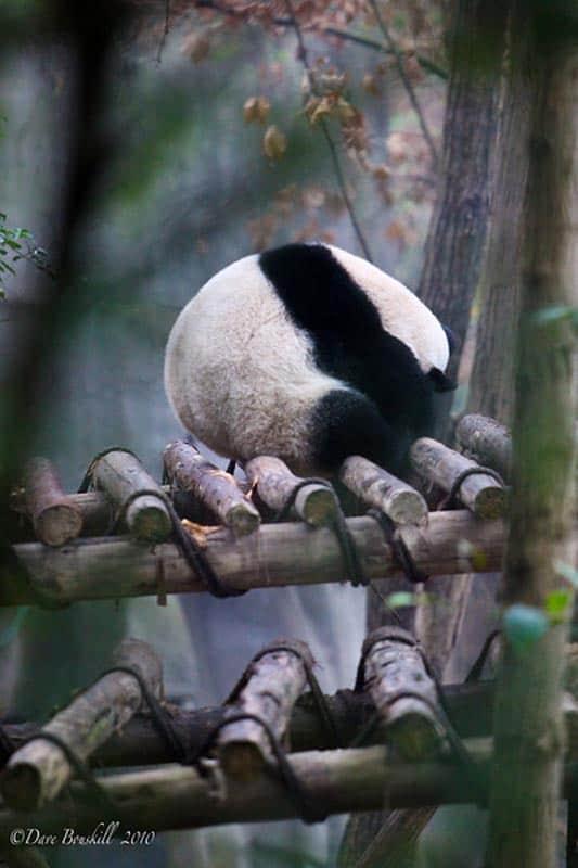 giant panda bumb