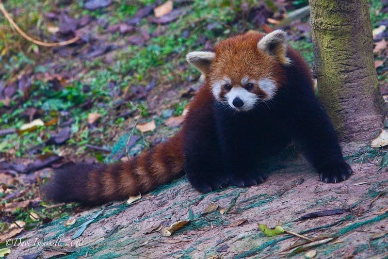 red panda at the panda research center