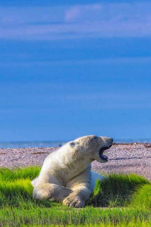 what to do in canada | polar bears