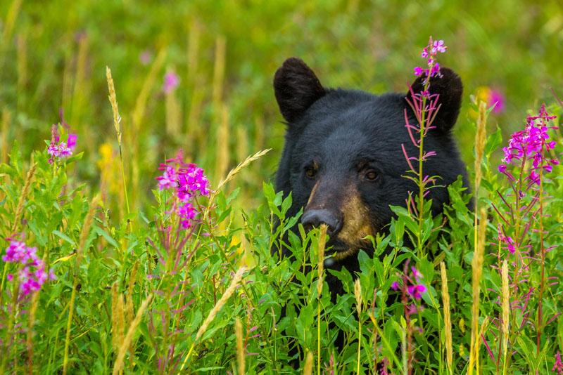 polar bear photos black bear