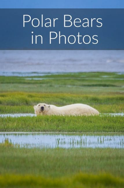 polar bears in photos