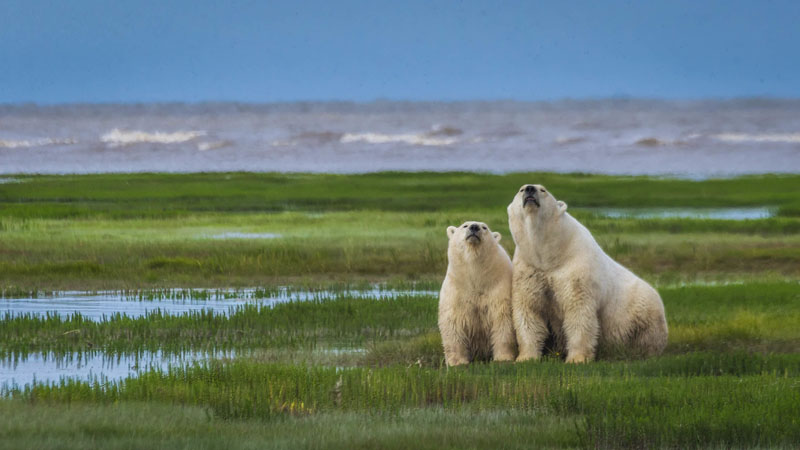 polar bear photos family