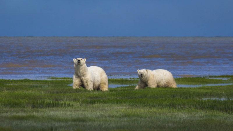 polar bears on hudson bay