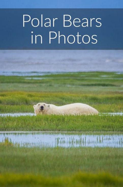 polar bear photos pin