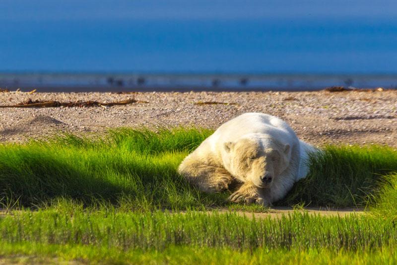 polar bear photos resting