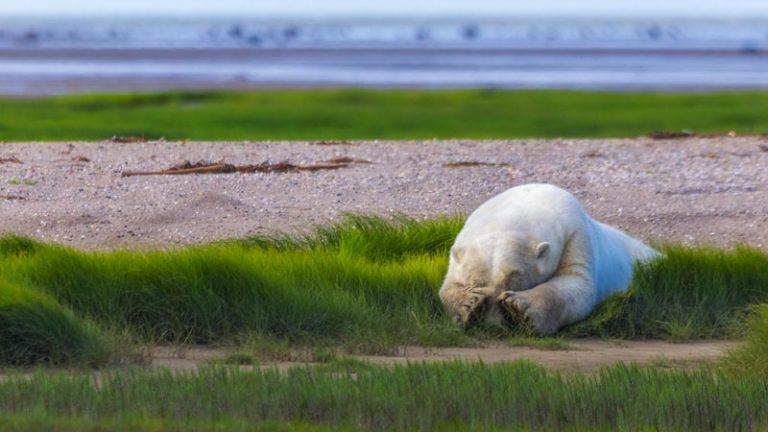 polar bear safari in manitoba