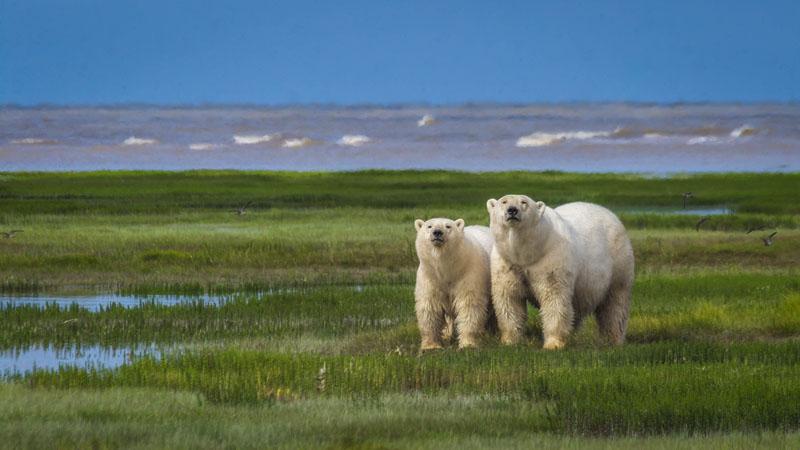 polar bear photos sniffing