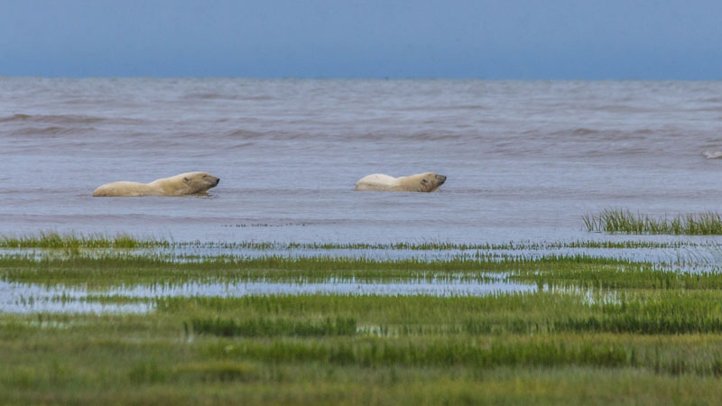 polar bear photos swimming