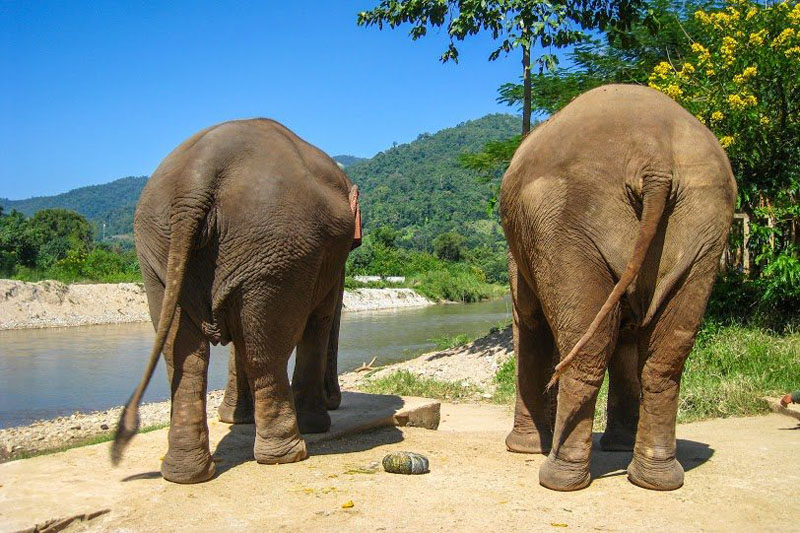 elephant butts thailand