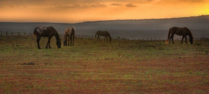 hawaii horses