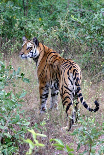 bengal tiger safaris india