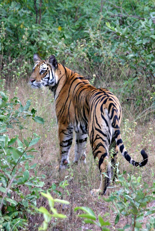 bengal tiger safaris india
