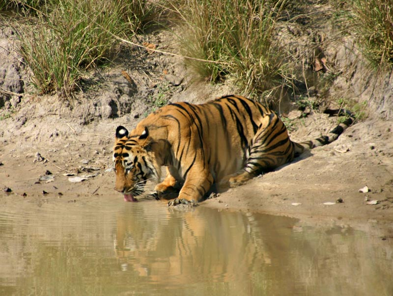 bengal tiger drinking from river in india