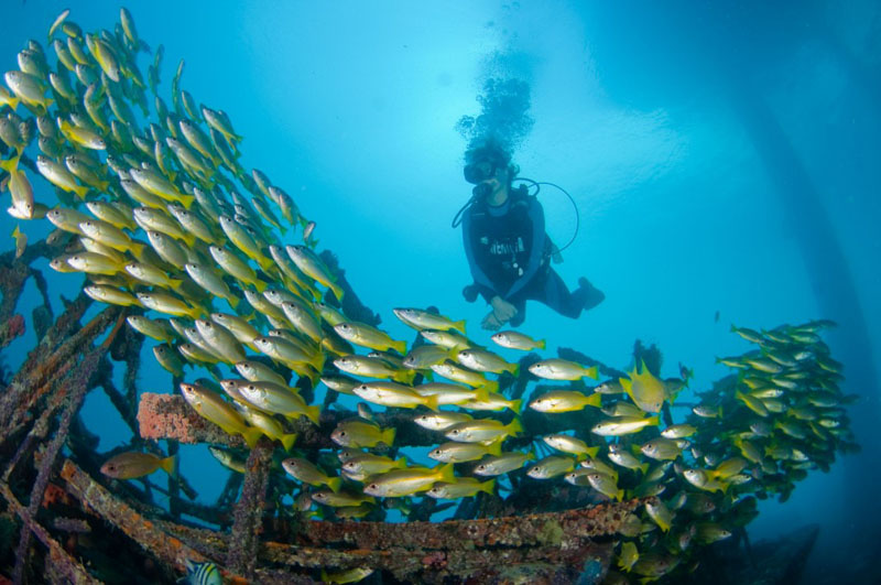 fish diving in sipadan