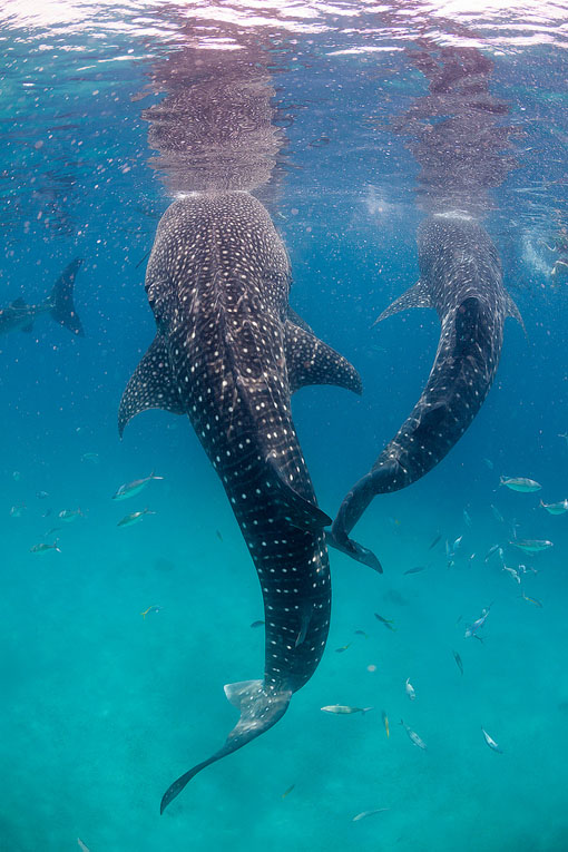 whale sharks diving in sipadan