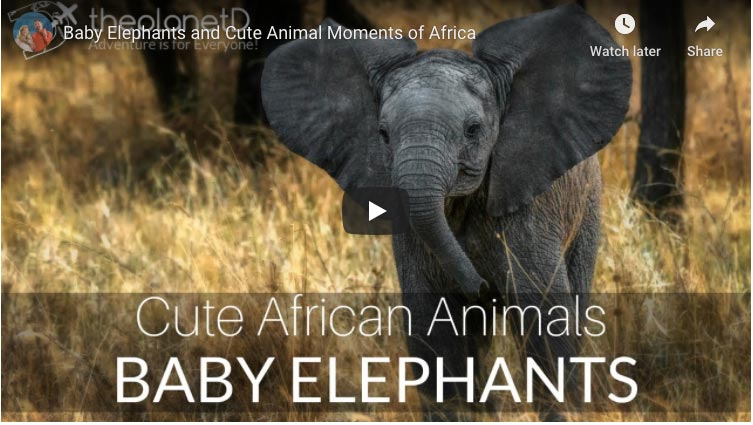safari animals | elephants playing in Africa