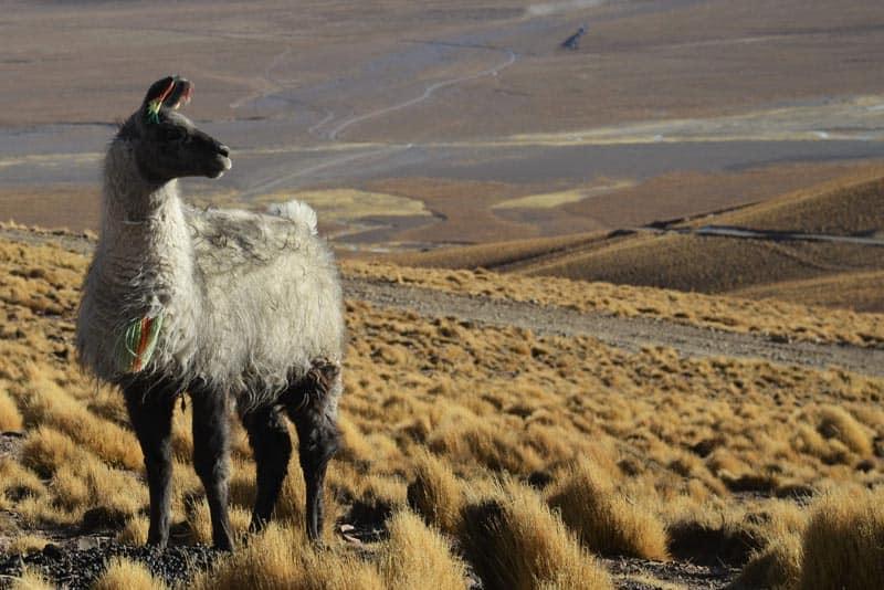lama at the salar de uyuni