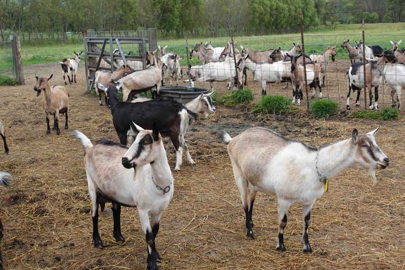 goats on harleys dairy farm