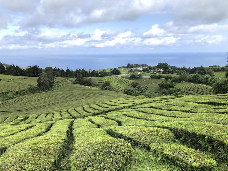 azores tea plantation