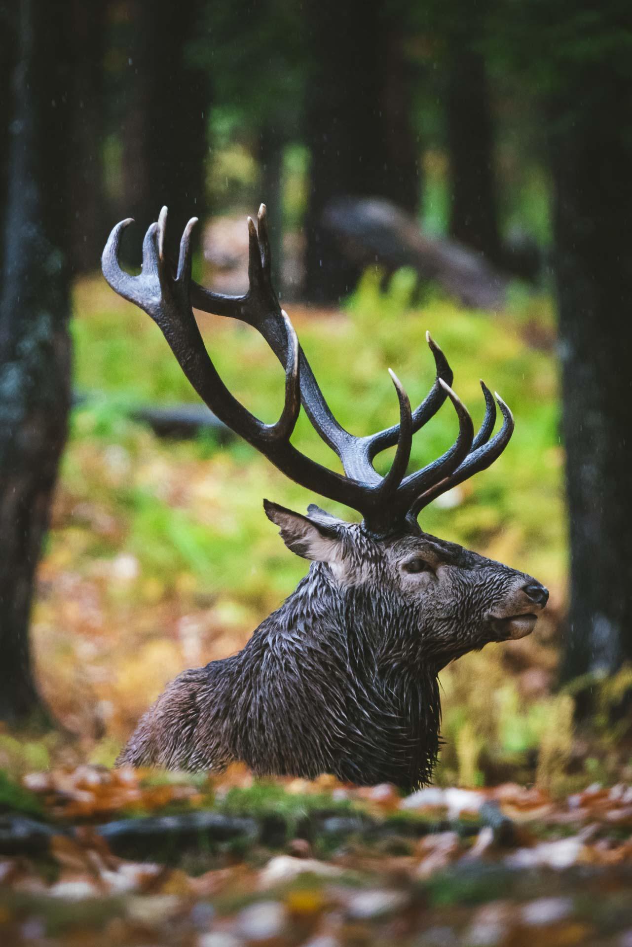 elk in forest