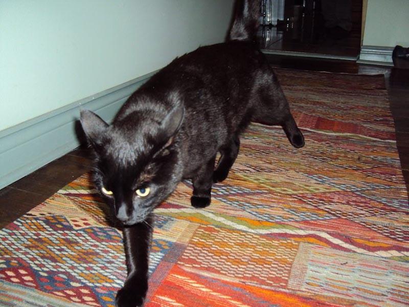 moroccan carpet at home cat walking