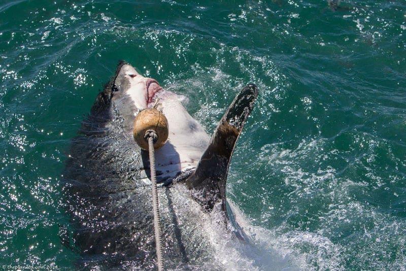shark diving bite of great white shark