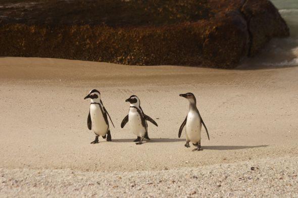 simons town penguins babies
