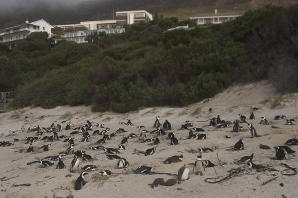 simons town penguins colony
