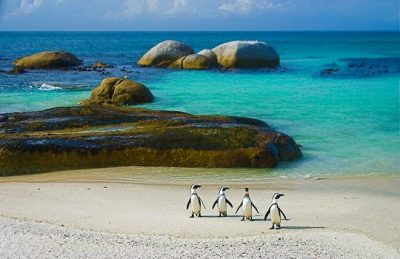 penguins of boulders beach simons town ocean
