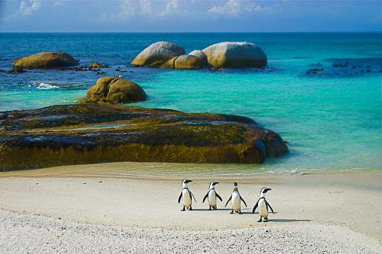 Penguins of Simon's Town South Africa