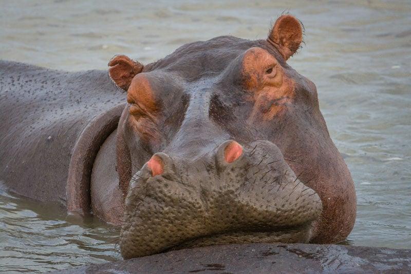 south africa photos hippo