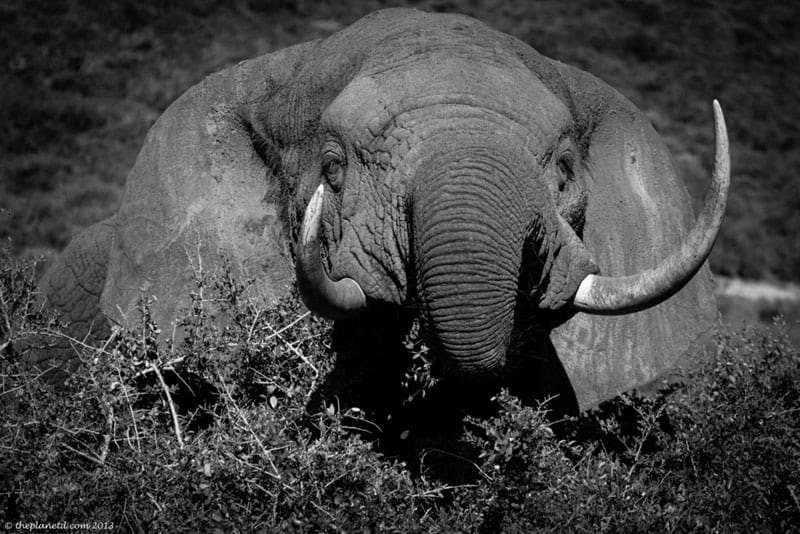 south africa wildlife elephant