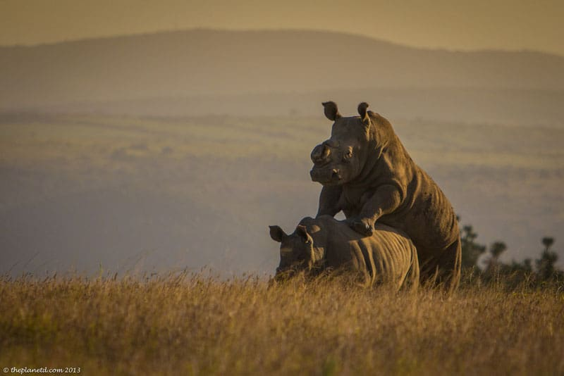 south africa wildlife rhinos