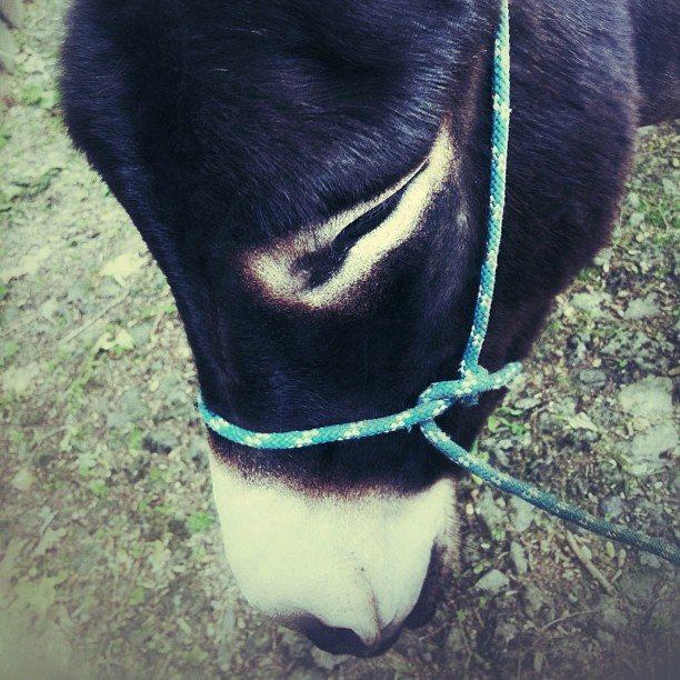 Mule in Spain