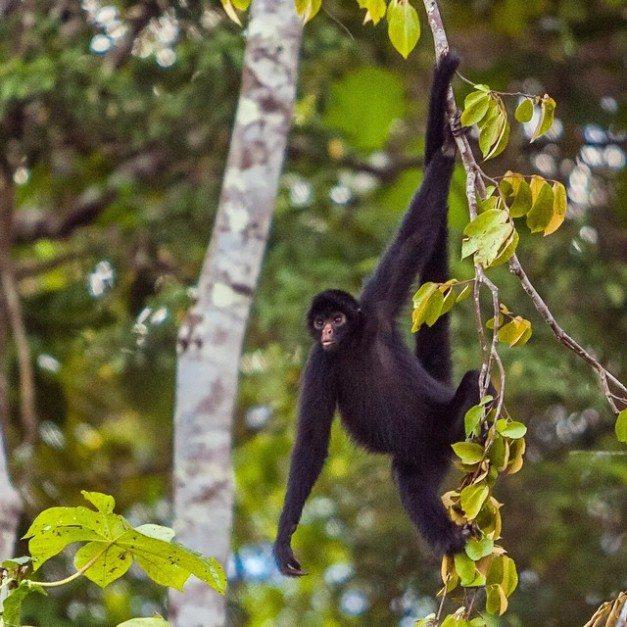 spider monkey amazon