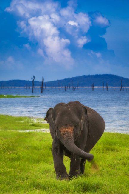 sri lanka photos elephants
