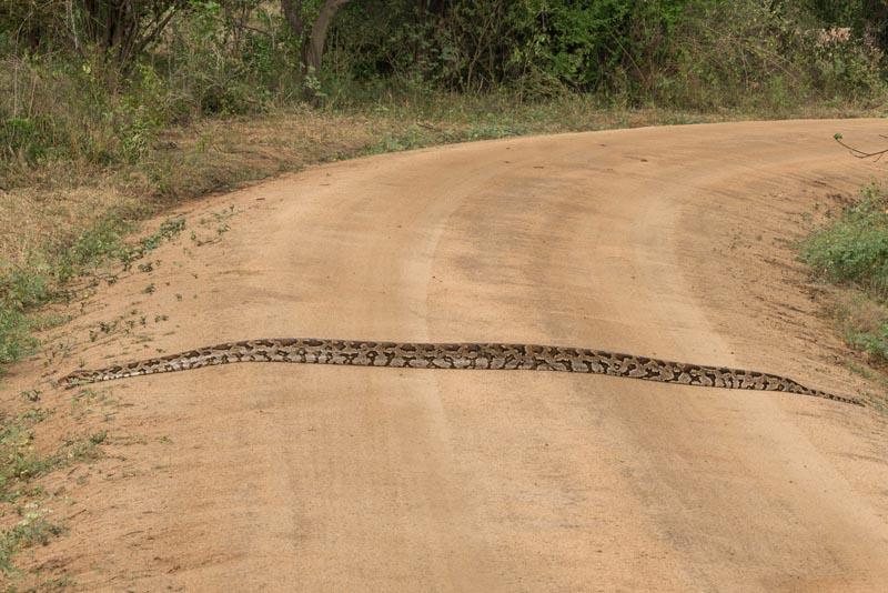 sri lanka wildlife safari python