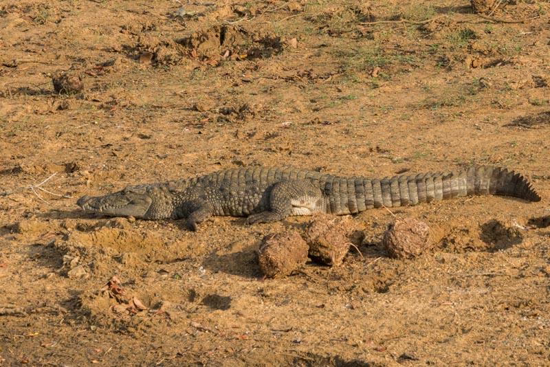 yala national park sri lanka crocodile