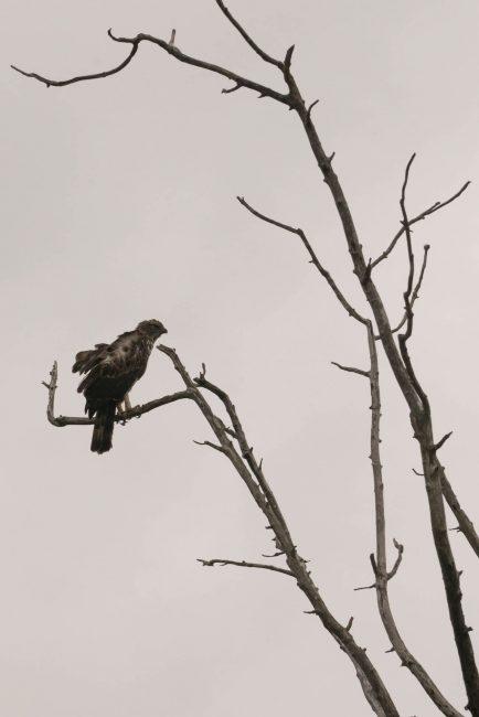 safari sri lanka eagle