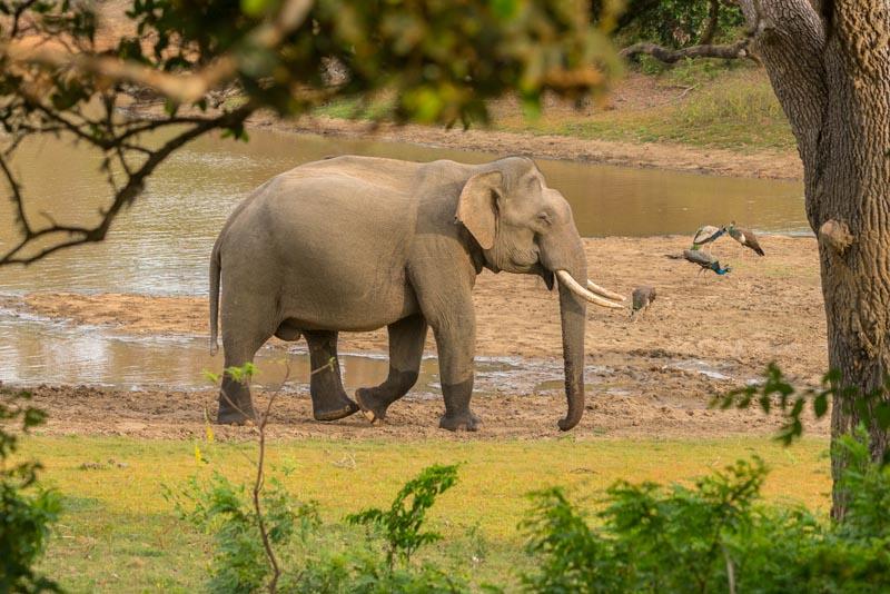 on safari in sri lanka elephants