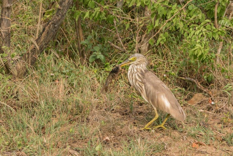 birds of sri lanka heron