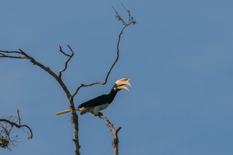 hornbill sri lanka birds on safari