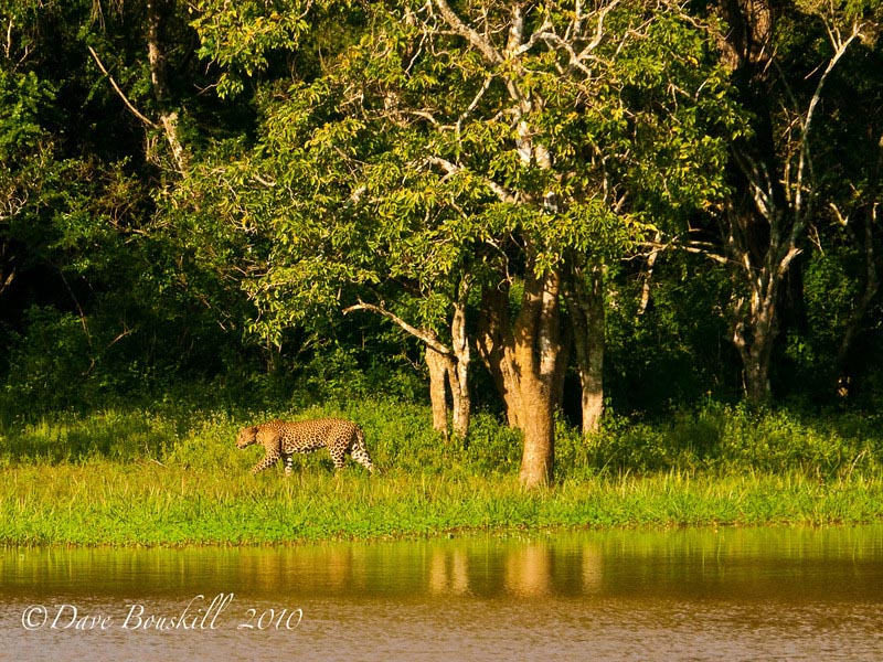 safari sri lanka leopard walking