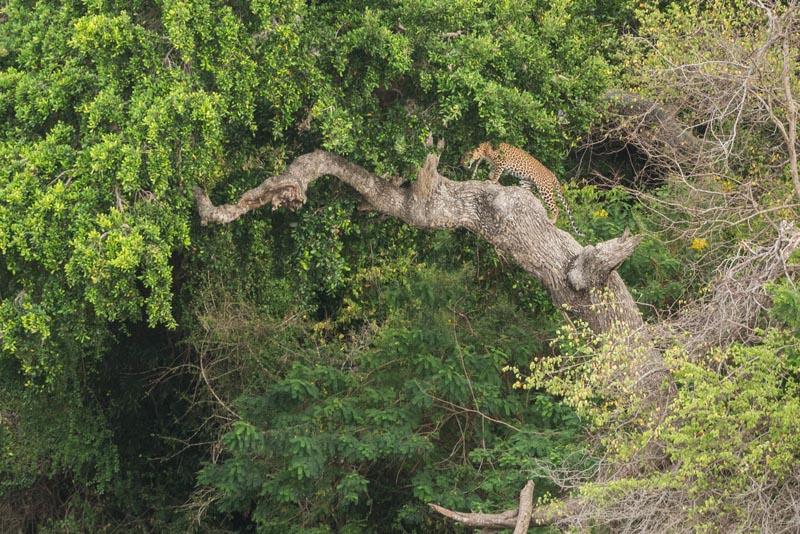 yala safari sri lanka leopards