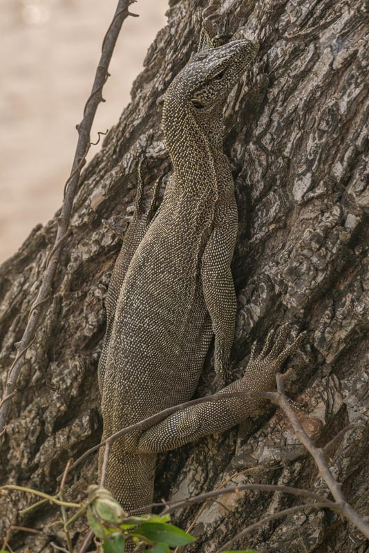 yala safari monitor lizard