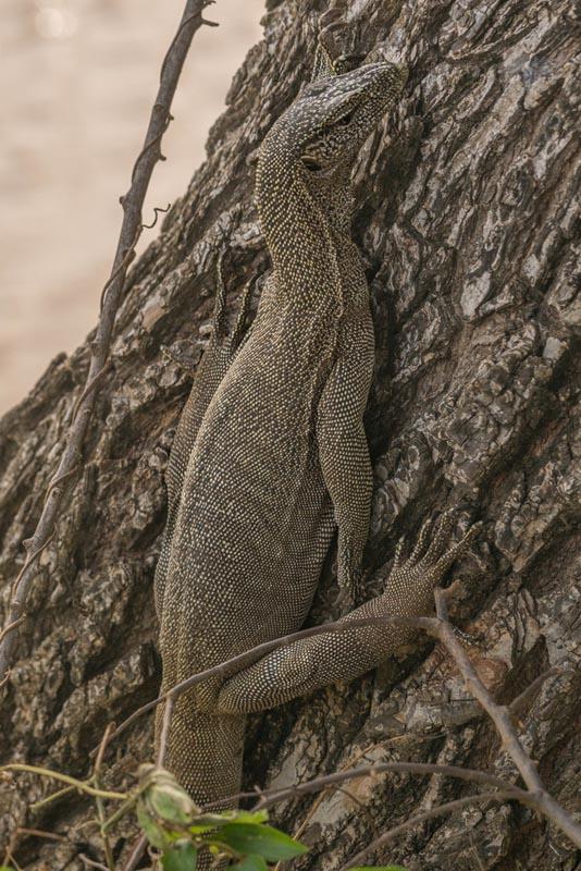 yala safari monitor lizard