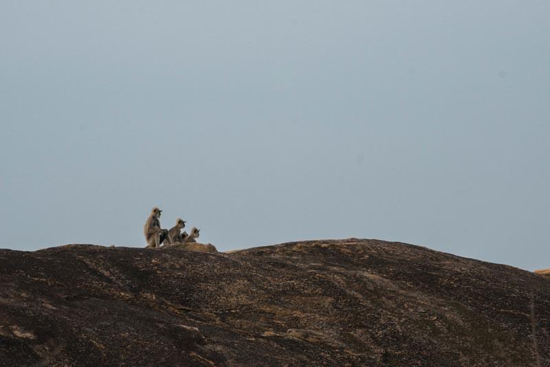 monkeys on our safari in yala