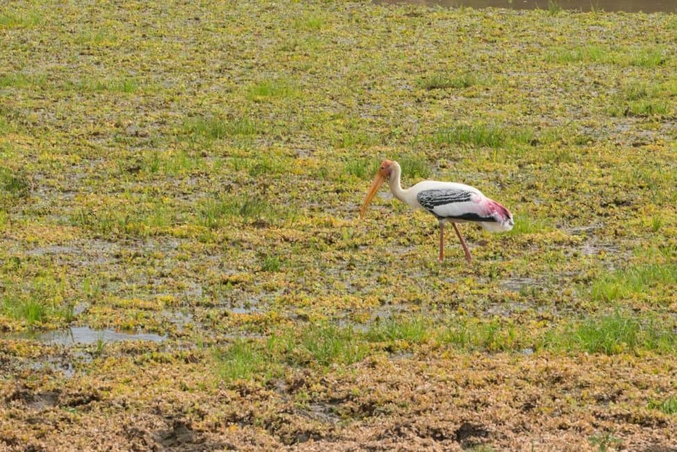 sri lanka wildlife safari painted stork
