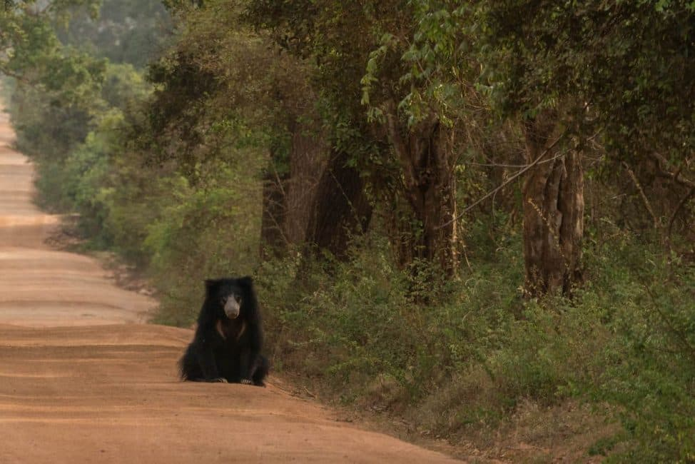 Sri Lanka Safari bear in yala