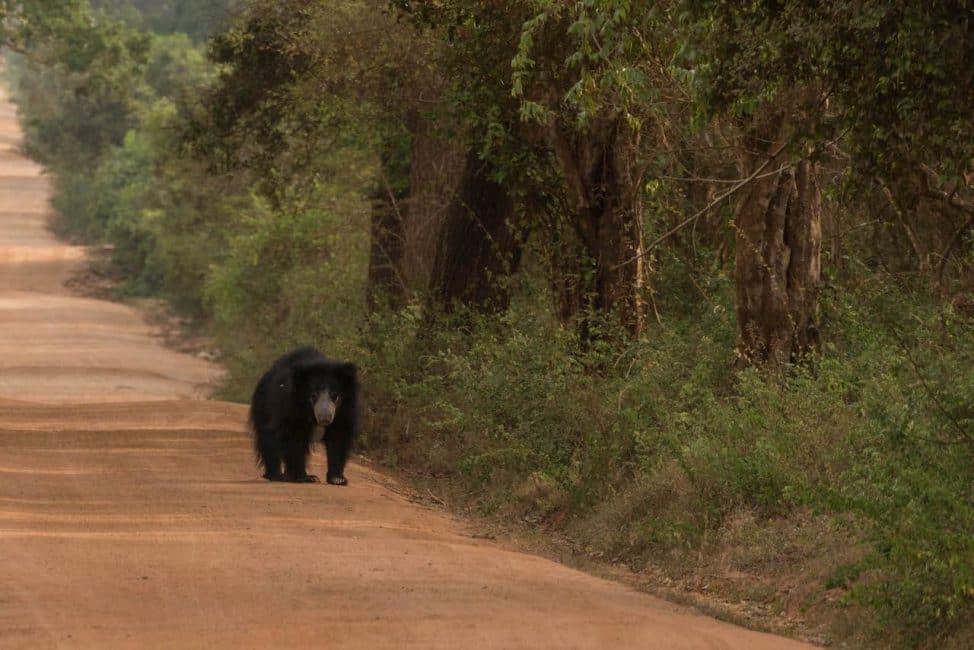 sri lanka safari yala bears